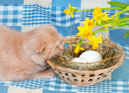 Little cream cat lying near basket with eggs photo