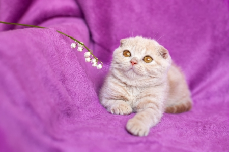 Little cream cat lying on violet background photo