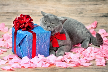 A cat sleeping on blue gift with a red ribbon with big bow on the roses petals photo