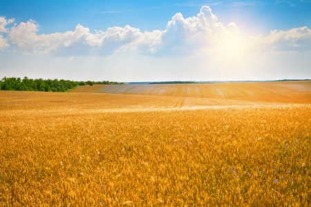 Wheat field with blue sky with sun and clouds photo