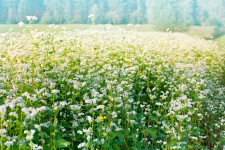 Beautiful buckwheat field photo