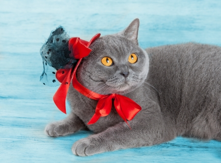 tendencies: Cat wearing red hat lying on blue background