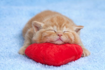 red pillows: Little cat sleeping on the red heart-shaped pillow