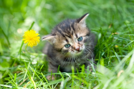 Little kitten sitting on the grass near dandelion photo