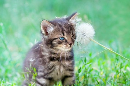 Little kitten rubbing against dandelion photo
