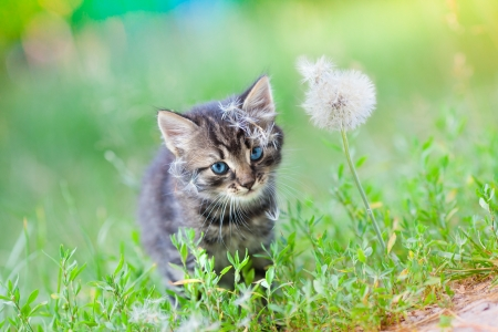 Little kitten on the grass near dandelion photo