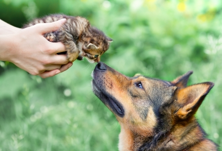 sniffing: A big dog and a little kitten in female hands sniffing each other outdoor Stock Photo