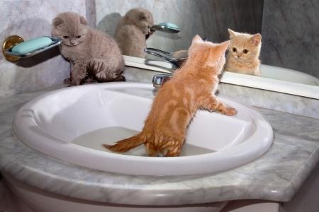 mirror on the water: Little kittens bathing in the sink