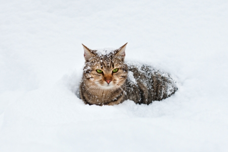 Cat lying in the snow