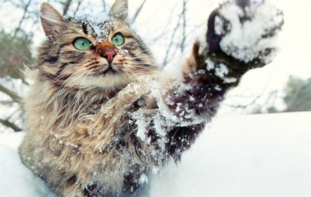 gato jugando: Gato que juega con la nieve