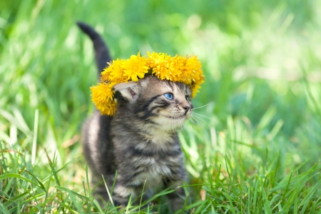 Cute little kitten crowned with a chaplet of dandelion walking on the grass Фото со стока