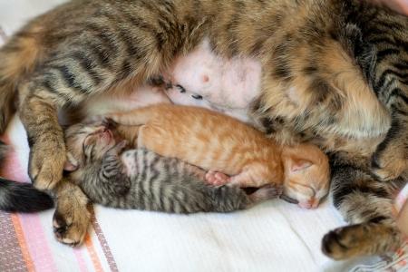 adult breastfeeding: Newborn kitten sleeping near mother cat after   1057;-section
