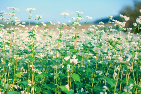 Beautiful buckwheat field against the sky photo