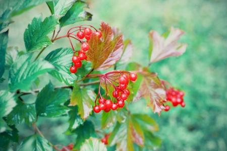 guelder rose berry: Wet viburnum berries Stock Photo