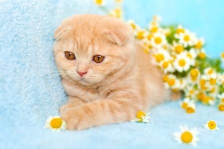 Gato que miente cerca de manzanilla