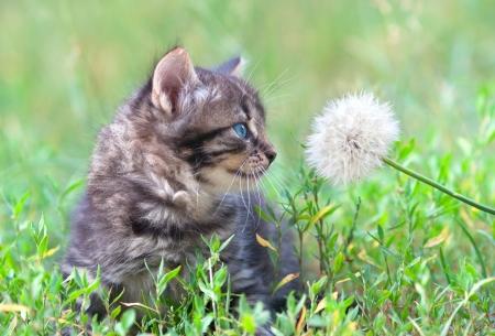 Little kitten sniffing dandelion Stock Photo
