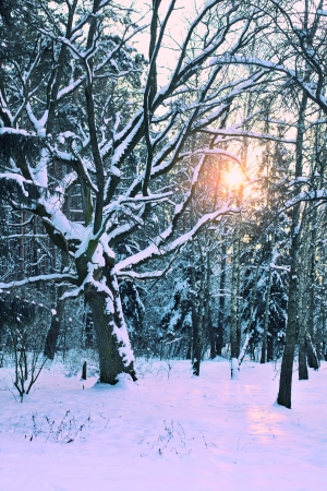 Winter snowy forest photo