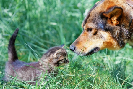 Big dog and little kitten sniffing each other on the grass photo