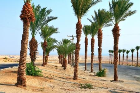 dactylifera: Date palms near Dead Sea Stock Photo