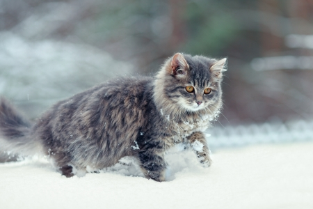 Cute kitten walking w śniegu