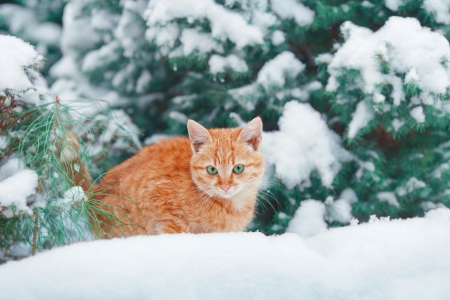 Little kitten lying in the snow near fir Stock Photo - 24444559