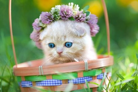 Cute cream kitten crowned with a chaplet of clover in a basket Фото со стока