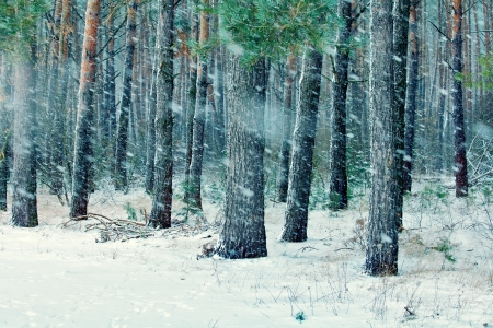 Snowy pinewood in winter photo