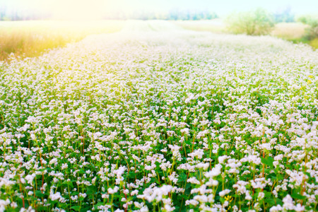Beautiful buckwheat field with sunlight photo
