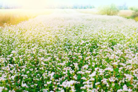 Beautiful buckwheat field with sunlight photo