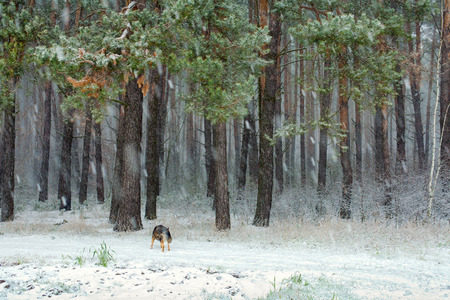 Pine forest in snowstorm photo