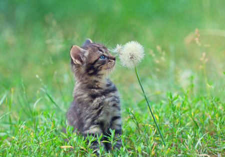 Little kitten sniffing dandelion Фото со стока
