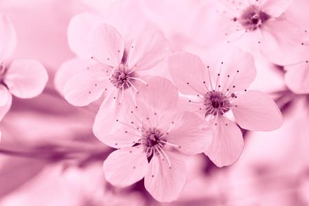 咲いている桜の木の枝 写真素材