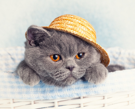 Portrait of Blue British cat is wearing straw hat