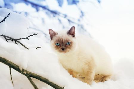Siamese kitten sitting in snow photo
