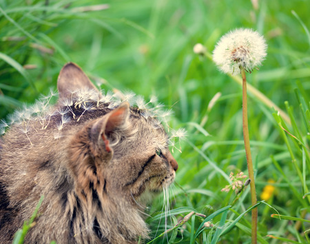 Cute siberian cat covered with dandelion seeds photo