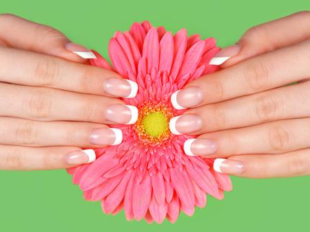 Les mains et les ongles de belle femme avec manucure français sur la fleur rose de gerbera