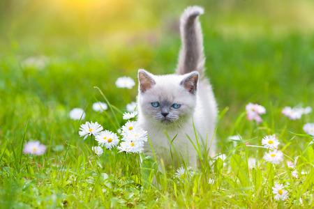 Cite little siamese kitten on a flower lawn photo