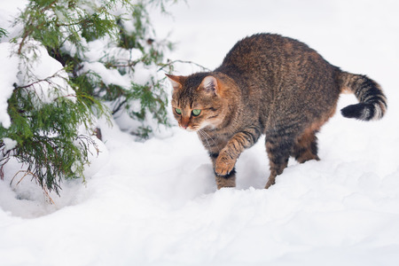 Cat waking in snow in forest photo