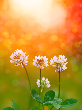 White clover flowers at sunset photo