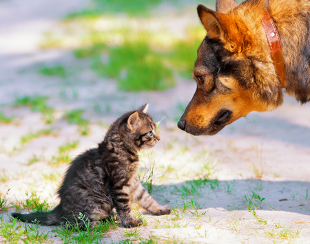 Big dog and little kitten looking at each other