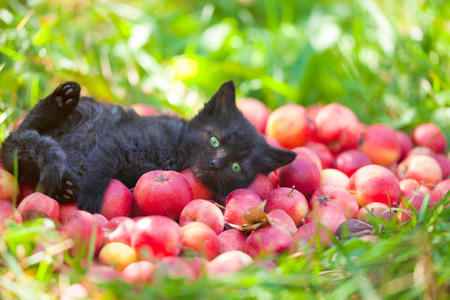 Cute little black kitten lying on back on red organic apples on green grass