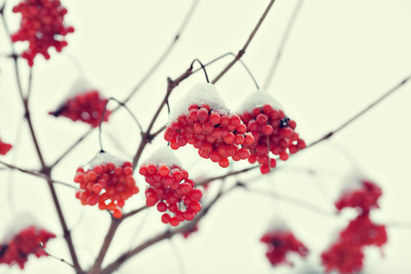guelder rose: Cluster of Viburnum covered with first snow