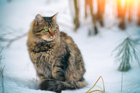 new year cat: Cute siberian cat walking in the snow in forest