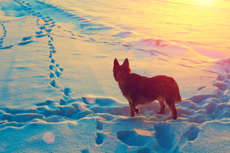 skying: Dog staying in snowy field back to camera and looking at sunset