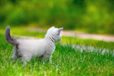 Cute little siamese kitten on the grass photo