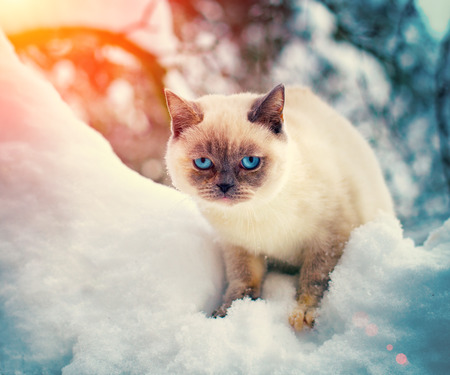 Siamese cat is walking in the snow photo