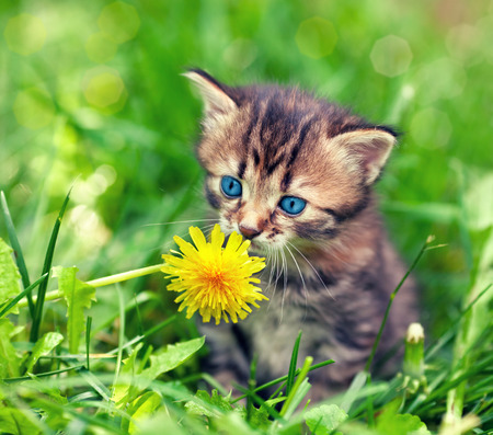 cute bi: Little kitten sitting on the grass and sniffing dandelion