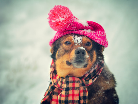 Dog wearing knee hat with pompom and scarf walking outdoor in winter Фото со стока