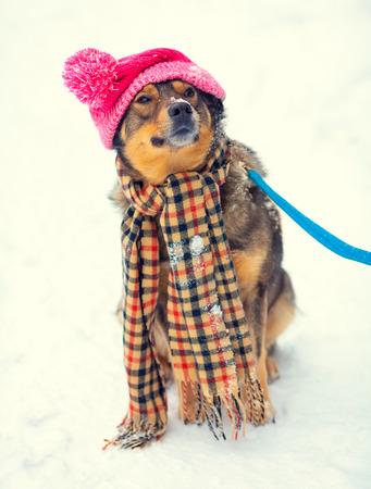 pompom: Cane indossa cappello ginocchio con pompon e sciarpa camminare all'aperto in inverno