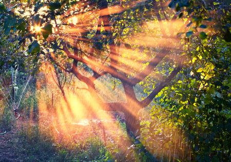 sunset tree: Sun rays in the garden at sunset